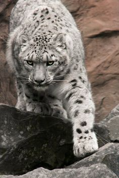 """""""At the top of the mountain we are all snow leopards"""" Hunter S. Thompson"""
