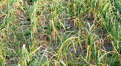 Часто у пошедшего в рост чеснока желтеют перья. Если вовремя не принять меры, не будет хорошего урожая .Листья могут пожелтеть у любого чеснока, неважно, яровой он или озимый. Плохо когда чеснок желте...