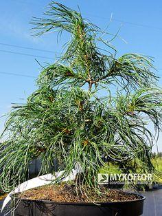 Pinus strobus Contorta