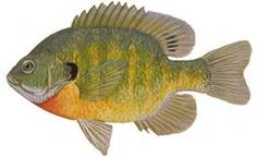 bluegill fish - - Yahoo Image Search Results