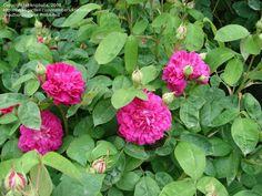 Damask Rose, Portland Rose 'Rose de Rescht'  Rosa