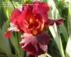 Red Bearded Iris   ... Pictures: Intermediate Bearded Iris 'Red Zinger' (Iris) 16 by laurief