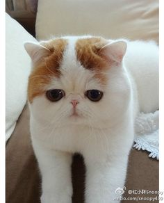 My future pet: an exotic cat with short hair  | Mon prochain chat: un chat exotique à poil court.
