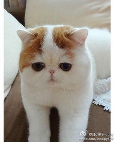 Love this Exotic shorthair cat