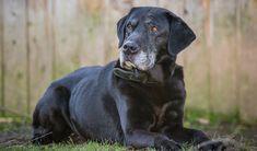 Caring For An Older Labrador