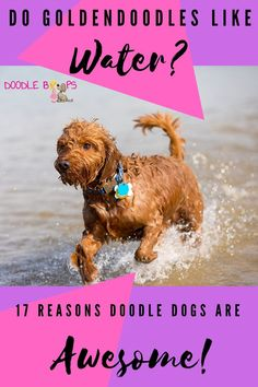Yes, Goldendoodles love the lake life and they love swimming in the water!