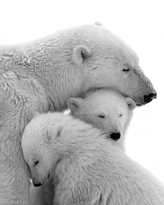 Momma and baby polar bears ❤️ Animals And Pets, Baby Animals, Funny Animals, Cute Animals, Wild Animals, Baby Giraffes, Nature Animals, Love Bear, Tier Fotos