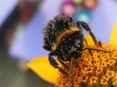 honey bee bij