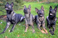 such gorgeous dark sable German Shepherds