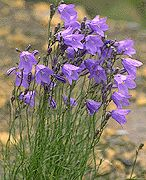 Sweet Harebells (Campanula rotundifolia) love these delicate flowers in sun and shade and in containers!