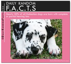 Daily Random Facts - Dalmatians