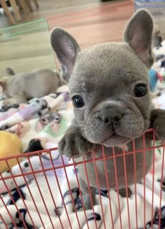 """Visit our internet site for more details on """"French bulldog pup"""". It is an outstanding location to learn more. Cute French Bulldog, French Bulldog Puppies, Cute Dogs And Puppies, Baby Dogs, Doggies, Baby Beagle, Retriever Puppies, Baby Animals Pictures, Pets"""