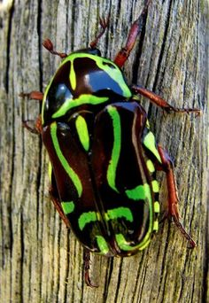 Fiddler Beetle: The Fiddler Beetle or Rose Chafer (Eupoecila australasiae) is a dark brown scarab beetle with distinctive green or yellow markings in a violin shape. The fiddler beetle measures 15–20 millimetres (0.6–0.8 in) in length. The abdomen is banded black and yellow or green. They are strong fliers and move from tree to tree to feed on nectar. Eggs are laid in rotting logs, or in debris or soil. The larvae eat rotting wood until they mature and pupate there by making a cocoon-like…