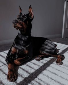 Doberman Pinscher Dog, Doberman Dogs, Dobermans, Cute Dogs And Puppies, Big Dogs, Doggies, Animals And Pets, Funny Animals, Scary Dogs