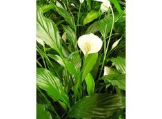 air cleaning plants: Spathiphyllum