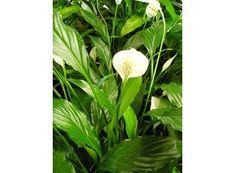 Rostlina | Lopatkovec, Spathiphyllum
