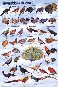 Laminated Gamebirds & Land Fowl Identification Poster Chart by Feenixx Posters This is an order / clade of heavy-bodied ground-feeding birds. It includes turkey grouse chicken quail ptarmigan par Raising Quail, Raising Chickens, Raising Pheasants, Diy Bird Feeder, Humming Bird Feeders, Farm Animals, Animals And Pets, Bird Identification, Game Fowl