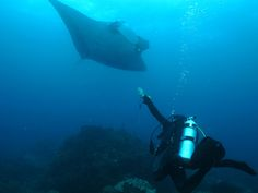 7 meter wide Giat Manta Ray in Blue Point Raja Ampat.