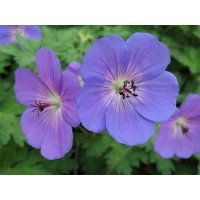 'Rozanne' Hardy Geranium - Gallon Pot - The Geranium of the Millennium