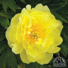 Paeonia 'Smith Family Yellow'