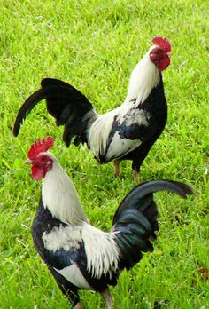 rooster walk, like doing the chicken dance but proud...