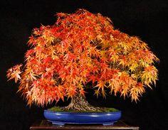rough bark maple bonsai | Valavanis Autumn Tokonoma Display