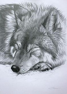 Sketch of wolf sleeping