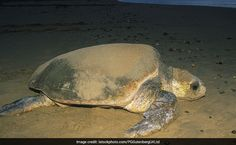 Enormous Sea Turtle Washes Up On Spain Beach. They Called A Crane To Move It