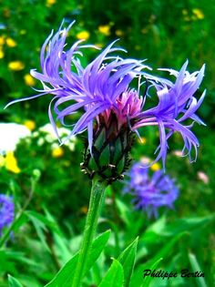 Fleurs bleues - Randonnée, Raquette & Alpinisme en Vanoise