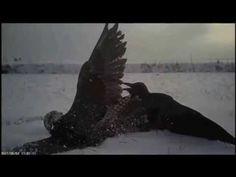 Vídeo registra caça no ponto de vista de um falcão - Super Pérolas