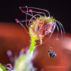 Drosera Scorpioides.  Bought myself another Scorpioides cos I needed it for a project. Plus IMO it's probably the nicest drosera to photograph. Which is your favorite drosera to photograph? by leocarnivorousplants
