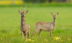 Roe deer antlers have razor like bobbles along their stem