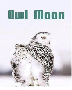 You've been owl mooned! Funny Animal Memes, Animal Quotes, Funny Animals, Cute Animals, Funny Owls, Funny Birds, Owl Pictures, Funny Animal Pictures, Owl Bird