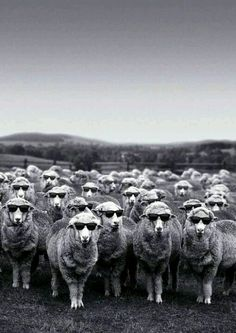 Sheeps with sunglasses