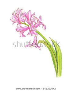 Image result for hyacinth drawing