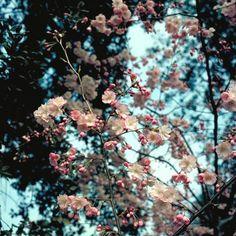 Cerisier à fleurs japonais 'Accolade'  Prunus 'Accolade'
