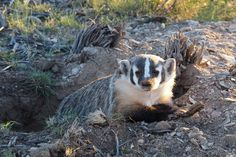 American Badger 12X18 Gallery wrapped by PattiMosbeyDesigns