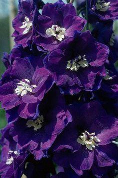 Wild Violets   البنفسج Sweet Violet ) Wild Viola )   كلية الزراعة