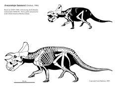avaceratops lammersi skeletaldrawing.com Scott Hartman