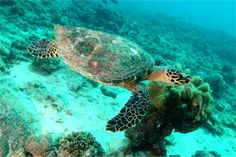 Hawksbill Sea Turtle.    Seychelles is home to nesting populations of two sea turtle species, the green turtle (chelonia mydas) and the hawksbill turtle (eretmochelys imbricata).