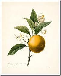 orange botanical drawing - Google Search