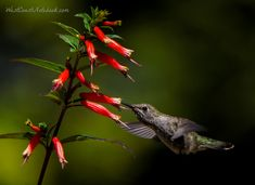 Anna's hummingbird on Vermillionaire Cuphea Flowers That Attract Hummingbirds, Attracting Hummingbirds, Hummingbird Plants, Bird Aviary, Flower Garden Design, Humming Bird Feeders, Plant Nursery, Wild Birds, Natural Wonders