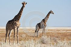 Photo about Giraffe at Etosha national park - Namibia. Image of legs, park, tall - 25965662 Giraffe, National Parks, Southern, Africa, Stock Photos, Photography, Animals, Image, Fotografie