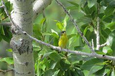 Lesser Goldfinch ©Carolyn Beach. Wild Bird Center of Boulder, CO Saturday Morning Bird Walk in Boulder County – June 5, 2014.