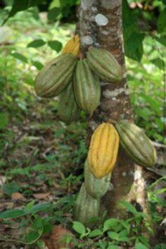 Cocoa fruit tree