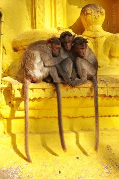 Travel Inspiration for India - INDIA: Temple Monkeys on yellow ediface. Shivaganga, India by Hari Prasad Nadig