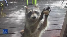 VIDEO: Raccoon Knocking For Food