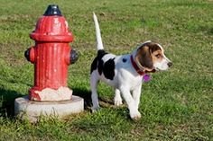 Urine Marking in Dogs - ASPCA