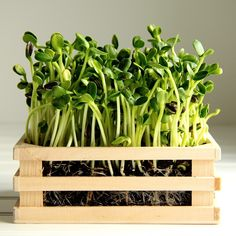 How to grow sunflower greens.