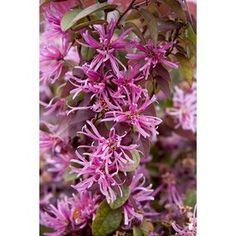 Monrovia�3.6 Gallon(S) Pink Sizzling Pink Fringe Flower